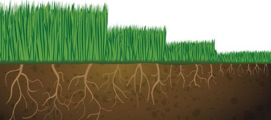 grass root height